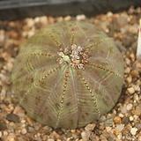 오베사 300815|Baseball Plant (Euphorbia obesa)