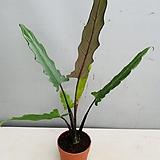 알로카시아대품 잎의상처있음 잎은1~3개 100~130cm