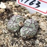 위트버젠스1163|Conophytum Wittebergense