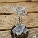 퍼플딜라이트 0815-51|Graptopetalum Purple Delight