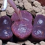 코노피튬레드군생|Conophytum