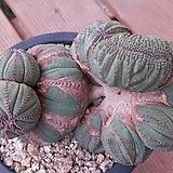 오베사철화자연군생대품(일본)멋진수형목질화되고있음|Baseball Plant (Euphorbia obesa)