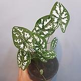 칼라데아스콧   수입식물|