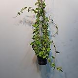 호야  말리  수입식물신상입고|Hoya carnosa
