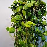 디시디아코끼리 임브리카타  수입식물  길이 100 ~120cm|Echeveria secunda