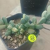 벽어연금08161|Corpuscularia lehmanni