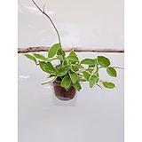 꽃피는 호야 자동급수화분 플라스틱화분 저면관수 사무실 파티션화분|Hoya carnosa