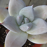 멕시코자이언트|Echeveria Mexican Giant