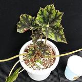 아이래쉬(베고니아)|Begonia