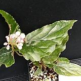 지니베고니아|Begonia