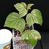 포도베고니아(화분포함)|Begonia