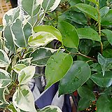 원종벤자민스트라이트2개-1급공기정화식물|