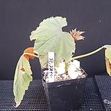 판그레이스(베고니아)|Begonia