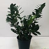 금전수(대품 ) 동일품배송|Zamioculcas zamiifolia