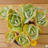 둥근잎비취후리데(적심)|Echeveria Peach Pride
