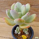 원종스윗캔디|Pachyphytum Doctor Cornelius