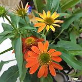 꽃이 잘피는~에키네시아|