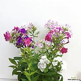 꽃이 예쁜~플록스|