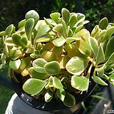 어크로톤금0817-1|Codiaeum Variegatum Blume Var Hookerianum