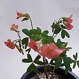 카사노바(사랑초종류)|