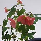 카사노바(사랑초)|