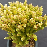 묵은희성|Crassula rupestris TOM THUMB