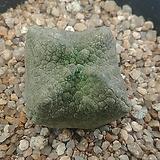 슈도리도스 큐비포미스 08171|