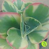 당인금08178|Kalanchoe thysifolia