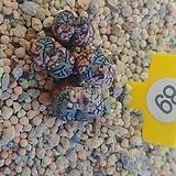 위트버젠스08171|Conophytum Wittebergense