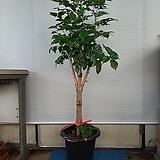 굵은외목대녹보수/해피트리/높이125센치|happy tree