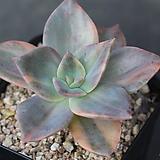 연봉금|Graptopetalum bainesii f. variegata