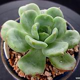 빅토리아 8-461|Echeveria globuliflora