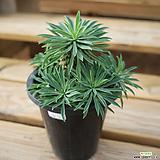 괴마옥 0817-31|Euphorbia hypogaea