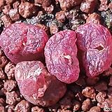 코노피튬군생 레드|Conophytum