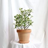 중품 스윗하트고무나무 이태리토분 완성|Ficus elastica