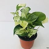 무늬몬스테라 오레우스(수입식물)|