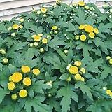 노란국화꽃 송익꽃|