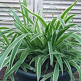 무늬접난 공기정화 식물|