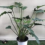 셀렘 공기정화식물