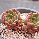 핑클루비 8-255|Sedeveria pink rubby