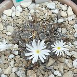 110-Conophytum pellucidum; E of Bailey's Pass 펠루시덤 16두 Echeveria Lucy