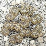 109-Conophytum pellucidum Concordia 펠루시덤 콘코르디아10두 Echeveria Lucy