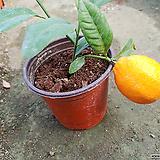 신종레몬나무-향기가득한열매나무|