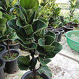 신종떡갈고무나무-멋진외목1급공기정화식물-100|Ficus elastica
