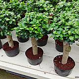 이쁜가주마루펜다고무나무|Ficus elastica