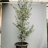 열매가득 올리브나무 (특대품 ) 높이 190 너비 90 