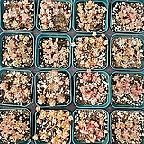 다육식물 은백설 랜덤|sedum spathulifolium