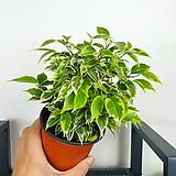 벤자민 / 공기정화식물 / 한빛농원 