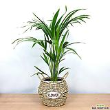 아레카야자 중형 바구니 세트 / 공기정화식물 /한빛농원 