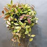 레베카호야걸이 (새로출시) 잎이잔잔해 더 예뼈요 Hoya carnosa